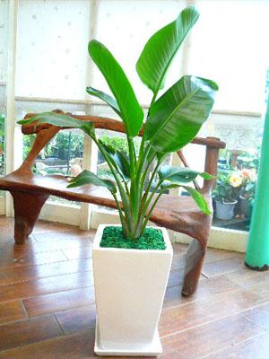 0010【送料無料でご予算ラクラク】観葉植物ギフト シンプル・オーガスタ(ホワイトスクエア鉢)【大型商品】
