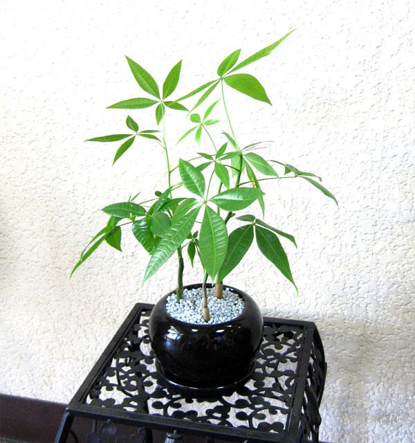 0099観葉植物ギフト 風水パキラ☆信頼感を高める【黒】