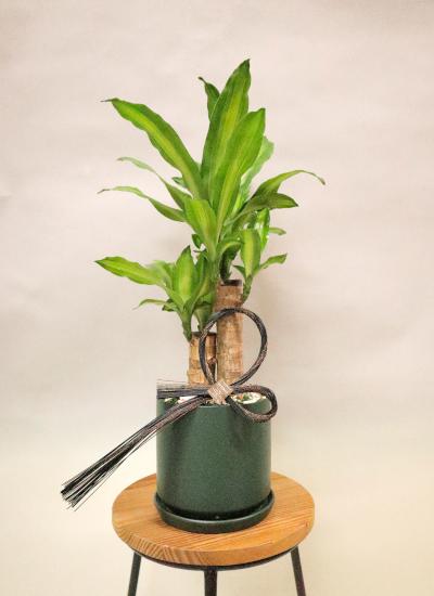 0585【観葉倶楽部の風水プランツ】 〈和Style/モダン水引タイプ〉 健康運UP☆グリーン鉢