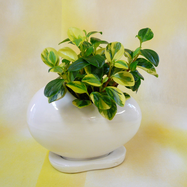観葉植物ギフト ペペロミア