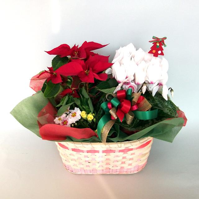 早割り☆~Merry X'mas~☆【送料無料】ポインセチアとシクラメンのクリスマスアレンジ