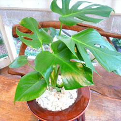0031【送料無料】観葉植物ギフト モンステラと絶妙ワインレッドの鉢植え