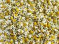 ハーブティー【ジャーマンカモミール】業務用・家庭用サイズ 北海道より減農薬有機肥料の国産ハーブのハーブティーをお届けします