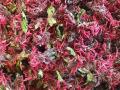ハーブティー【ベルガモット(花)】リーフ業務用・家庭用サイズ 32g 北海道より減農薬有機肥料の国産ハーブのハーブティーをお届けします