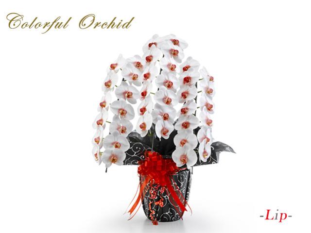 カラフル胡蝶蘭3本立(白赤)