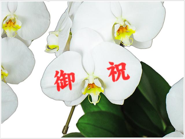 【メッセージ蘭-御祝】プレミアム大輪胡蝶蘭ホワイト3本立