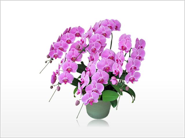 プレミアムピンク胡蝶蘭5本立