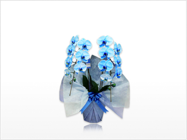スタンダード大輪胡蝶蘭ブルー2本立