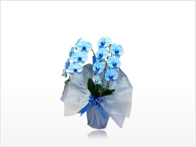 スタンダード大輪胡蝶蘭ブルー2本立横