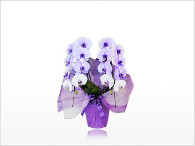 スタンダード胡蝶蘭2本立(紫)