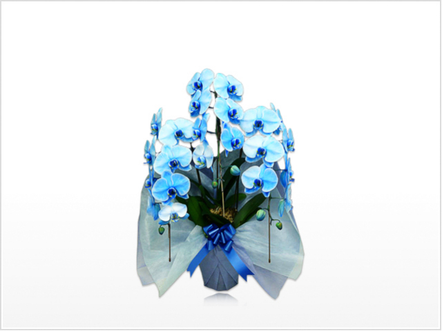 スタンダード大輪胡蝶蘭ブルー3本立