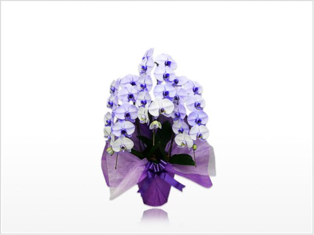 スタンダード胡蝶蘭3本立(紫)