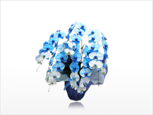 スタンダード大輪胡蝶蘭ブルー5本立横