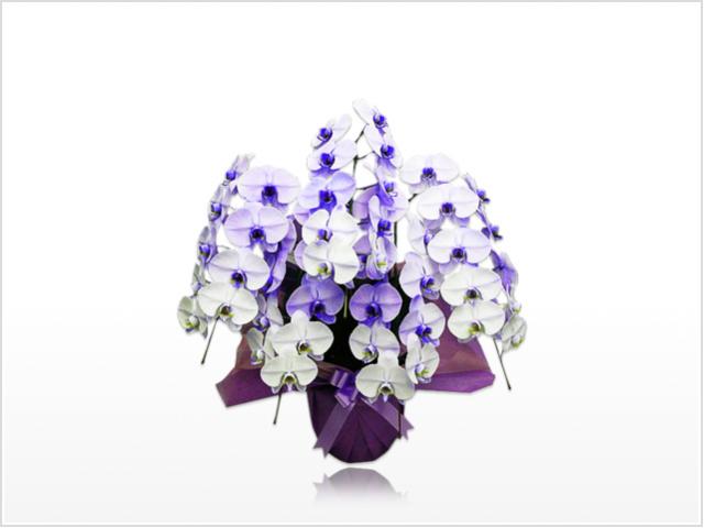 スタンダード胡蝶蘭5本立(紫)