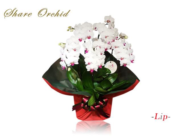 シェアミディ胡蝶蘭5本立(白赤)