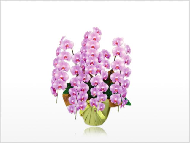 スペリオール大輪胡蝶蘭ピンク5本立