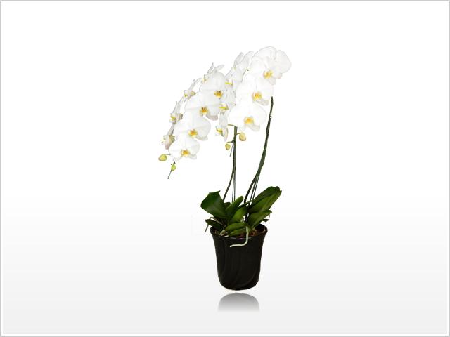 スタンダードホワイト胡蝶蘭2本立
