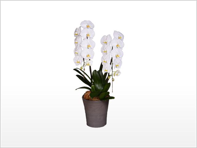プレミアム大輪胡蝶蘭ホワイト2本立