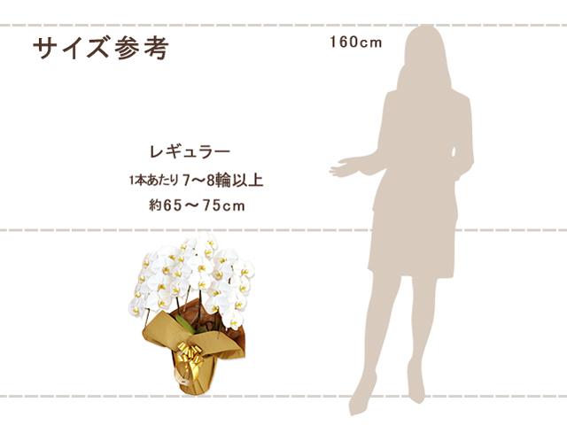 レギュラー胡蝶蘭3本立(白)