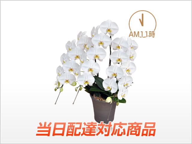 【当日配達】プレミアムホワイト胡蝶蘭3本立