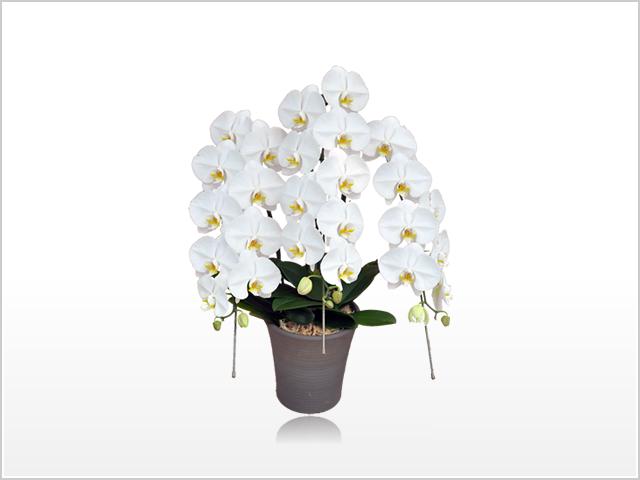 プレミアムホワイト胡蝶蘭3本立