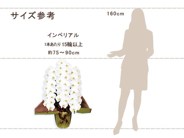 インペリアル胡蝶蘭3本立(白)
