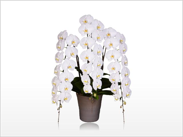 インペリアル大輪胡蝶蘭ホワイト3本立