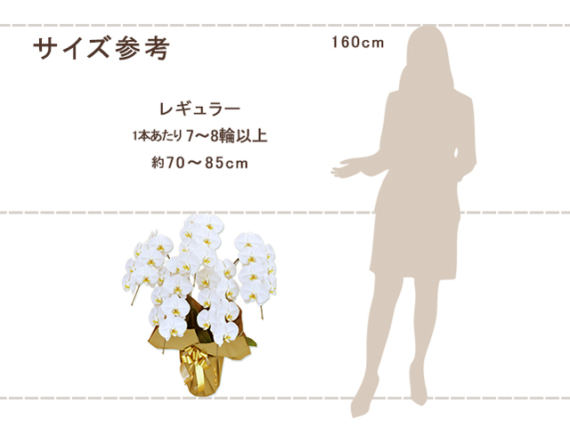 レギュラー胡蝶蘭5本立(白)