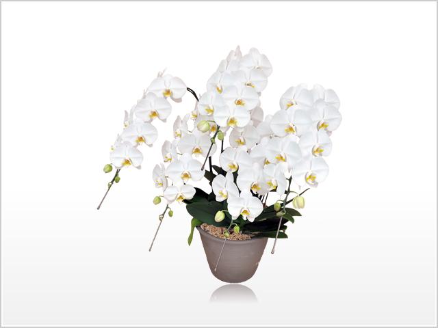 プレミアム大輪胡蝶蘭ホワイト5本立