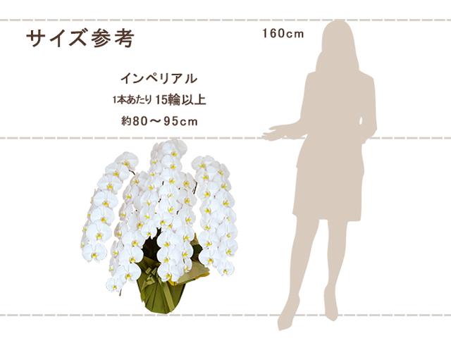 インペリアル胡蝶蘭5本立(白)