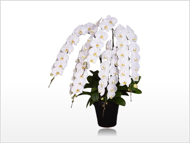 インペリアル大輪胡蝶蘭ホワイト5本立