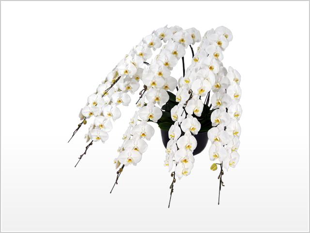 スペリオール胡蝶蘭8本立(白)