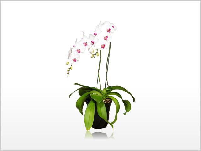 スタンダード白赤リップ胡蝶蘭2本立