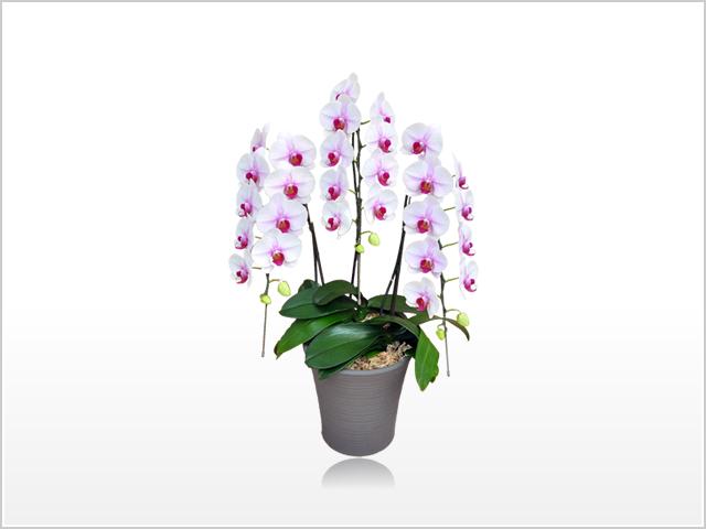 プレミアム白赤リップ胡蝶蘭3本立