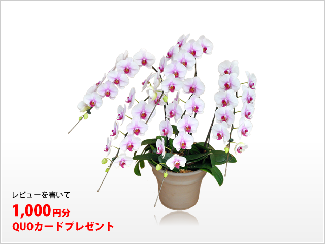 プレミアム白赤リップ胡蝶蘭5本立
