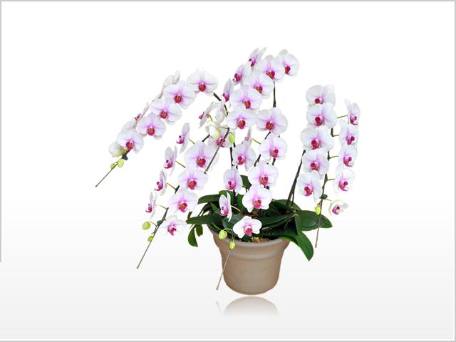 プレミアム胡蝶蘭5本立(白赤)