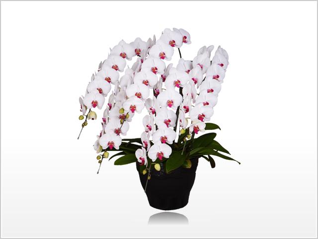 スペリオール胡蝶蘭5本立(白赤)