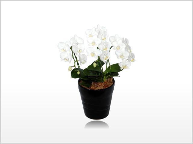 ミディホワイト胡蝶蘭3本立