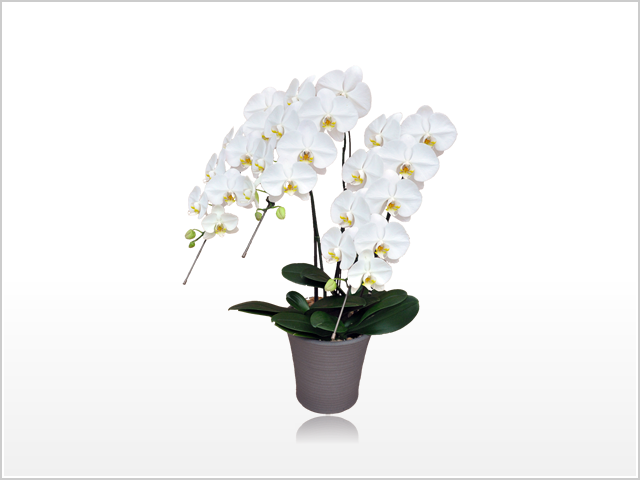 スタンダードホワイト胡蝶蘭3本立