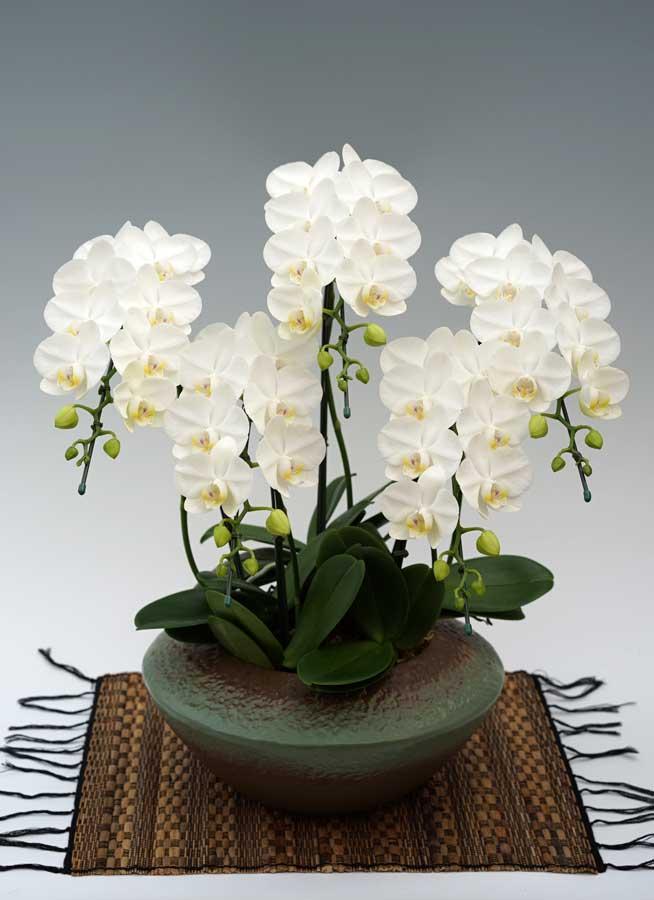 ミディ胡蝶蘭アマビリス 5本立 (まどか)|幸福の胡蝶蘭屋さん
