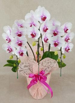 中大輪胡蝶蘭さくらひめ3本立ち