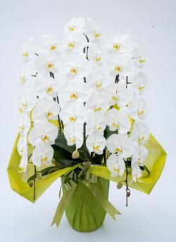 今週の当店人気NO2の胡蝶蘭大輪3本立ちデラックス白|幸福の胡蝶蘭屋さん