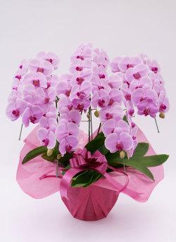新築祝いにおすすめの胡蝶蘭大輪5本立ちピンク