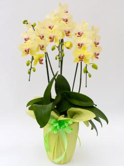 中大輪胡蝶蘭黄色3本立ち以上
