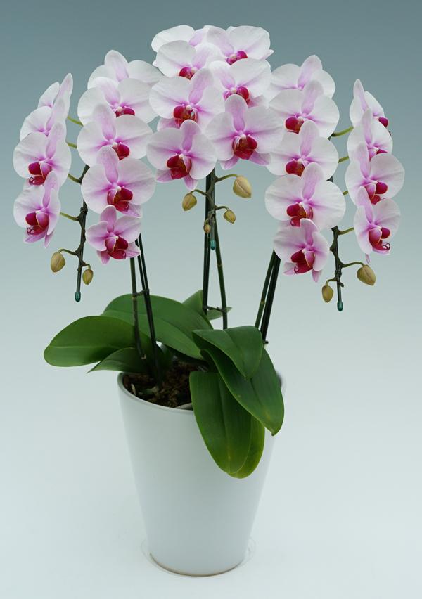 中大輪胡蝶蘭さくらひめ3本立ち|幸福の胡蝶蘭屋さん