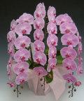 胡蝶蘭大輪5本立ちピンク ガラスの感謝状セット
