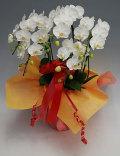 ミディ胡蝶蘭アマビリス5本立ち以上 ガラスの感謝状セット