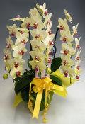ミディ胡蝶蘭黄色●3本立ち以上 ガラスの感謝状セット
