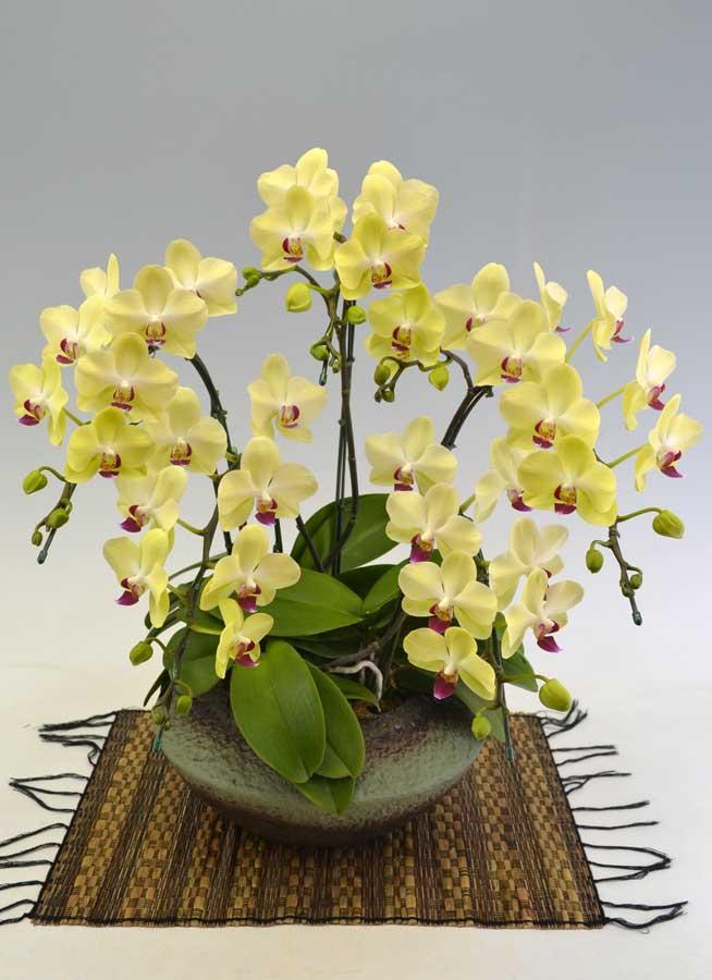 ミディ胡蝶蘭黄色 5本立 (まどか)|幸福の胡蝶蘭屋さん