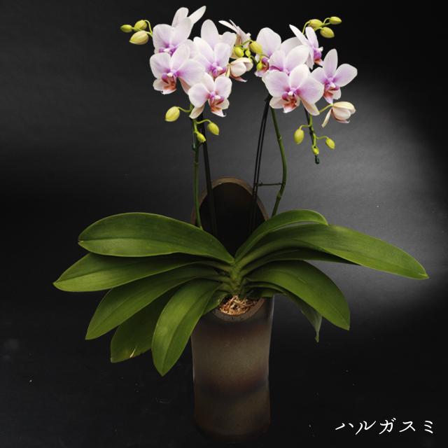 和鉢胡蝶蘭かぐや ハルガスミ